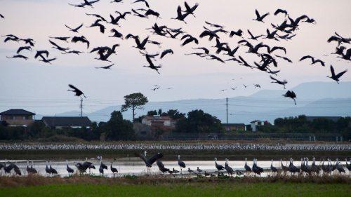 Thousands of cranes make their winter home in Izumi, Kagoshima.