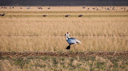 One of seven species of cranes that migrate to Izumi, Kagoshima.