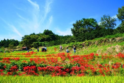 Inabuchi Tanada rice fields covered with red flowers on a sunny Autumn day in Asuka