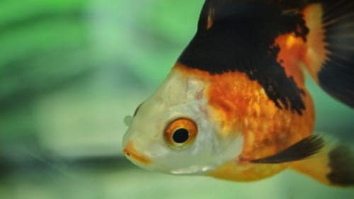 Goldfish close-up