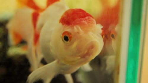 Goldfish close-up 2