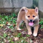 Shiba Inu: Japan's Cutest National Treasure