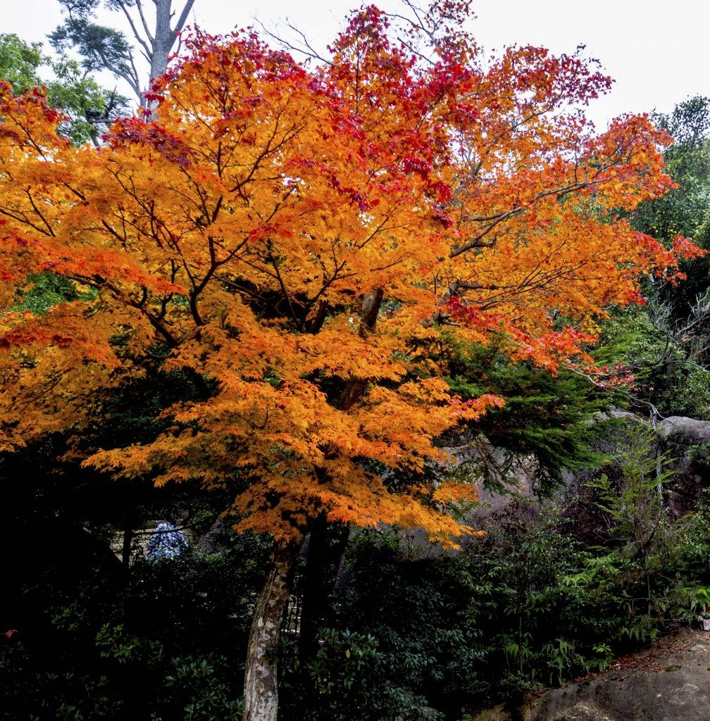 Roter Ahorn auf Berg Misen im Herbst, Miyajima, Hiroshima Japan.