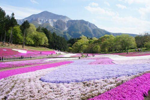 Die spektakuläre Blüte von Shibazakura