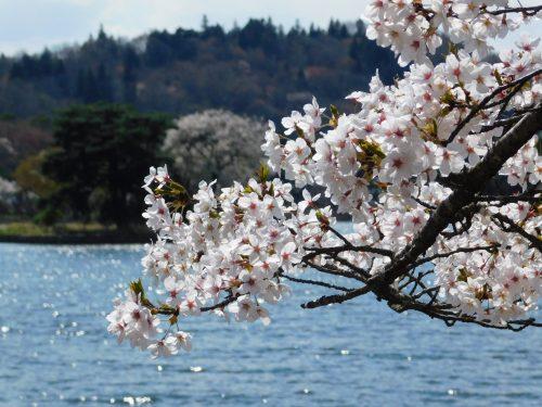 Die Kirschblüte in voller Pracht.