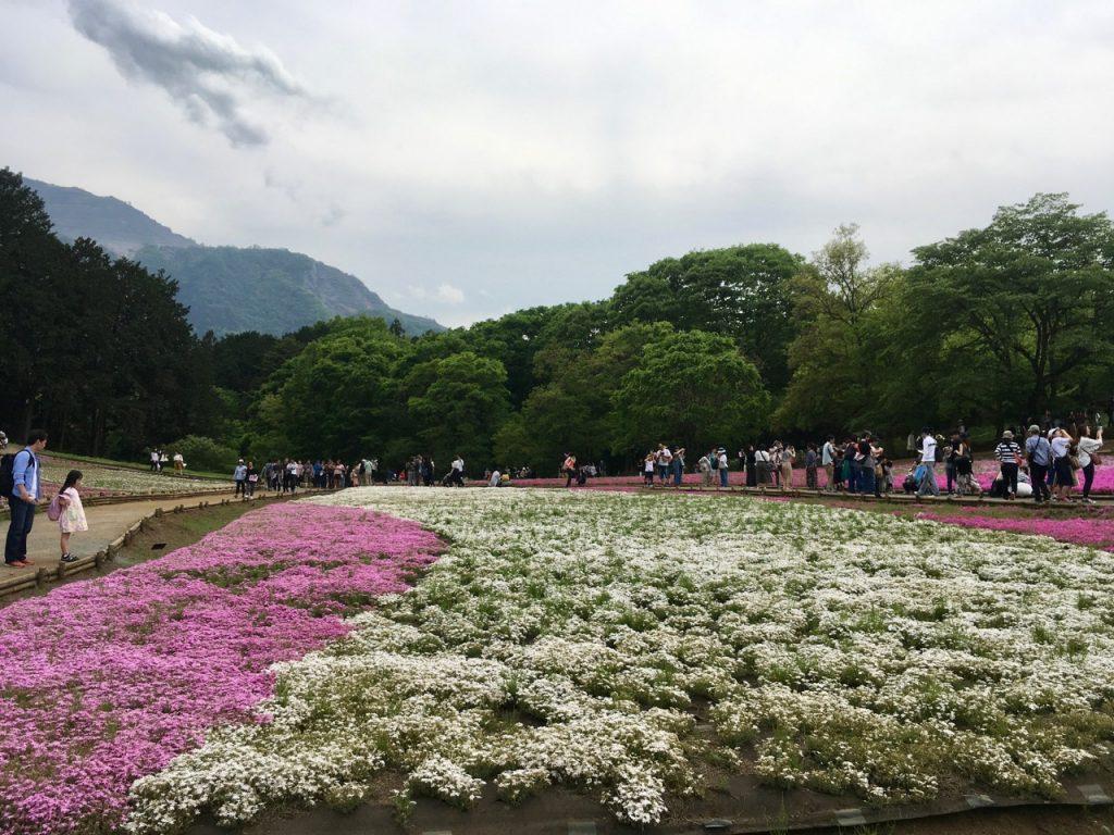 Im Hitsujiyama-Park gibt es 9 Varianten der Flammenblumen.