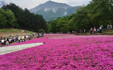 Das Shibazakura Fest in Chichibu.