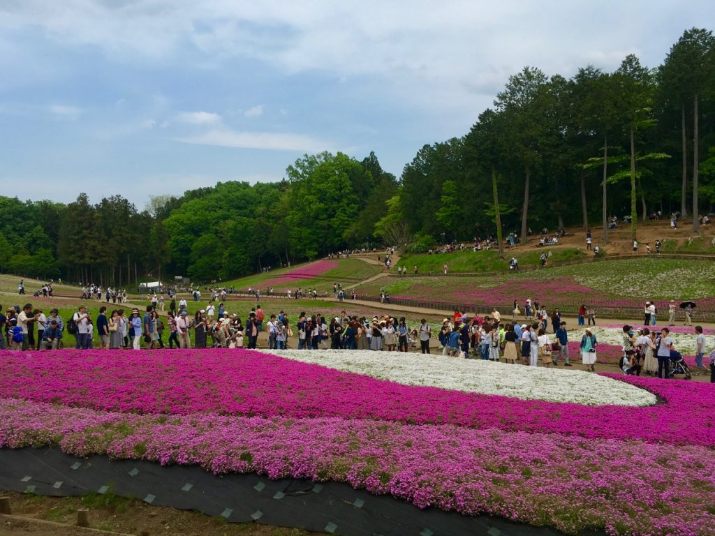 Shibazakura im Hitsujiyama-Park in Chichibua, Präfektur Saitama, Japan.