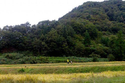 Übernachten auf dem Bauernhof mit Reisernte in Takane, Nähe Murakami, Präfektur Niigata, Japan.