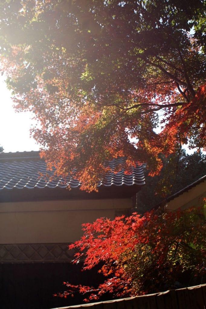 Der bekannte rote japanische Ahorn im Sogenji Tempel, Okayama, Japan.