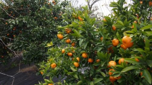 Der Garten von Herrn Ohira in Izumi.