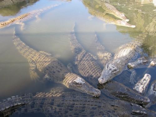 Estanque Oniyama Jigoku lleno de cocodrilos en Beppu (Oita, Japón).