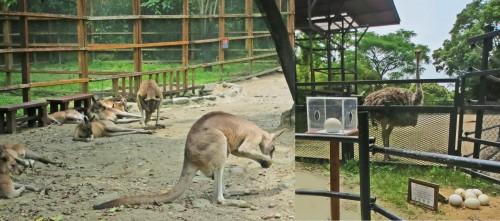 canguros zoo