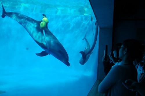 Espectáculo con delfines en el Acuario Kujukushima Umikirara de Nagasaki (Japón)