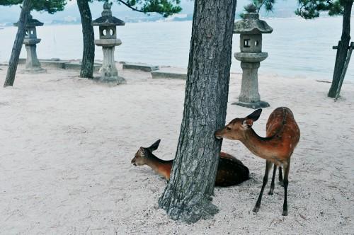 Ciervos tumbados en la playa en la isla de Miyajima, en Hiroshima