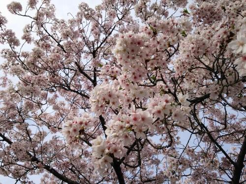 Cerezos en flor 'sakura'