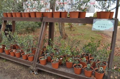 Plantas de olivo de Ushimado, Setouchi (Okayama).