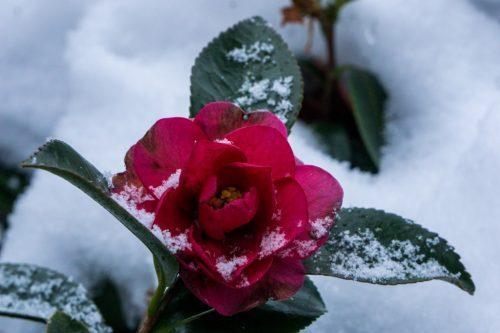 Flor en Shiraino, Toon.
