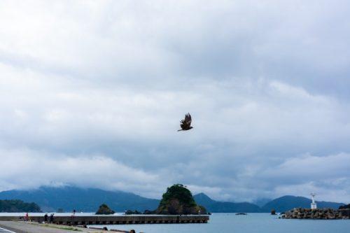 Un halcón japonés sobrevuela el área de pesca en Takahama