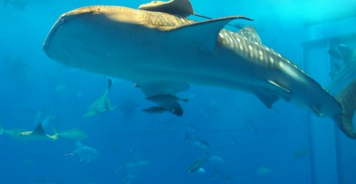Les requins-baleines de l'aquarium Churaumi situé à Okinawa, sur l'île de Naha.