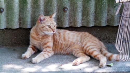 Chat roux sur l'île d'Ainoshima