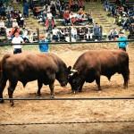 Combat de taureaux à Yamakoshi, Niigata