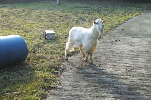 Goats in farm house