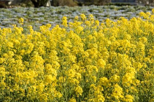 Le jardin Tobu Treasure Garden à Tatebayashi dans la préfecture de Gunma avec ses fleurs jaunes de colza