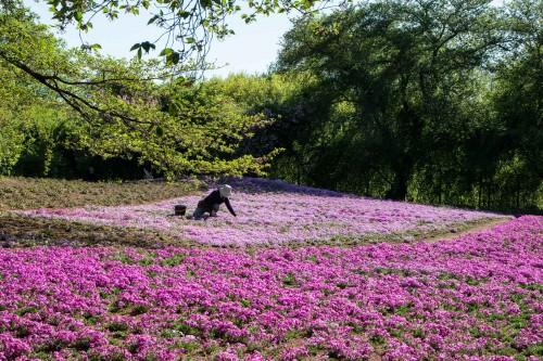 Le jardin Tobu Treasure Garden à Tatebayashi dans la préfecture de Gunma avec ses fleurs roses shibazakura