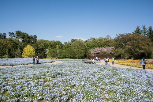 Le jardin Tobu Treasure Garden à Tatebayashi dans la préfecture de Gunma avec ses fleurs bleues nemophila