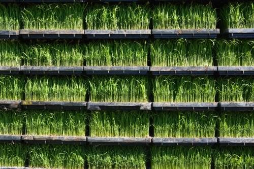 Reisgrass Takane, Niigata, Japan