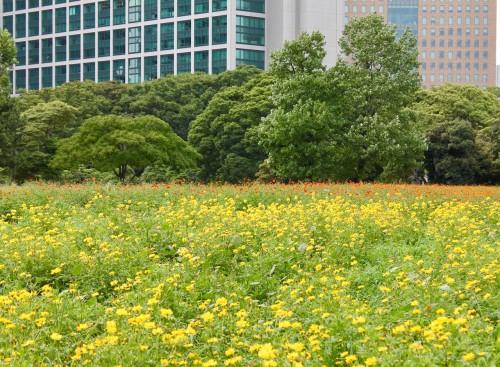 Fleurs au jardin japonais Hamarikyu, Tokyo, Japon.