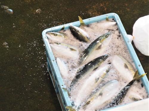 baie de toyama, pêcheurs, himi, poissons, japon, enchères, buri
