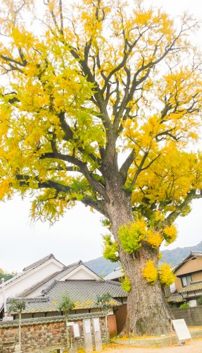 Un majestueux gingko de 1000 ans, l'un des plus imposants du Japon.
