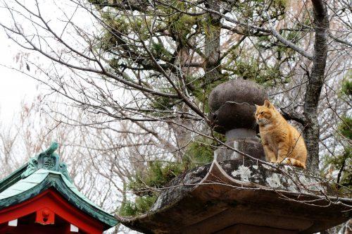 Chat au sanctuaire Okutsunomiya