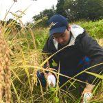Écotourisme et récolte de riz à Murakami