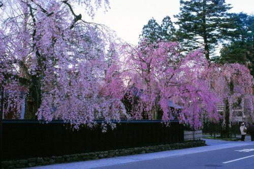 Les magnifiques cerisiers en fleurs au printemps à Kakunodate, Senboku, Akita, Japon