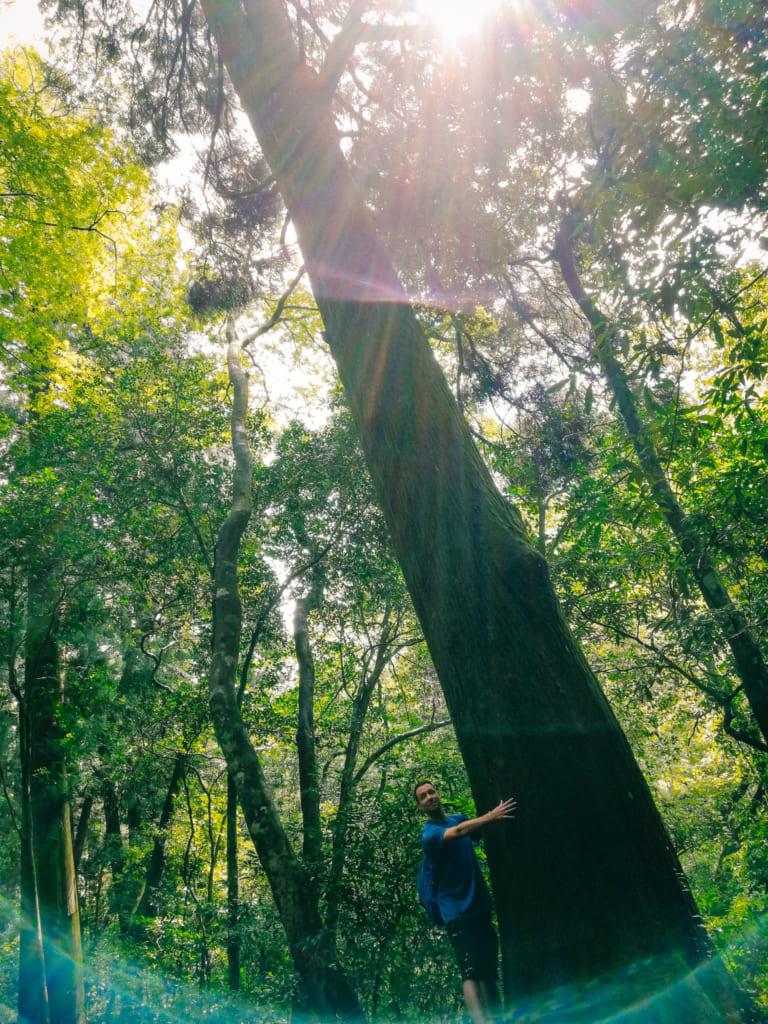 Une personne se tenant devant l'un des immenses cèdres de la forêt de kikuchi