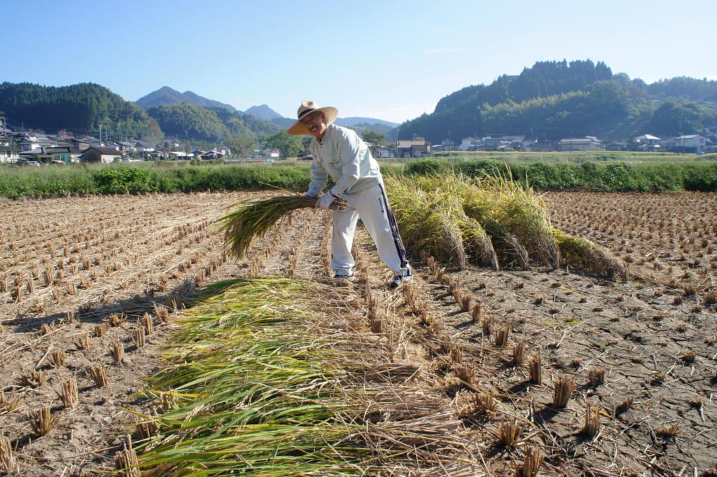 M. Yonemura, moissonnant sa rizière à la main