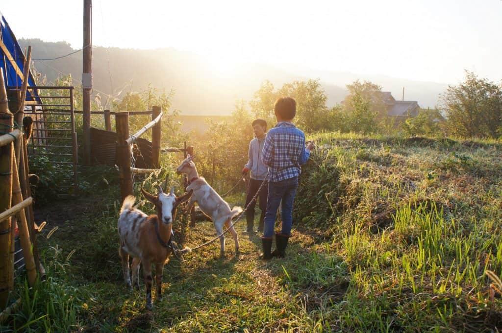 Caprette in una fattoria giapponese al tramonto