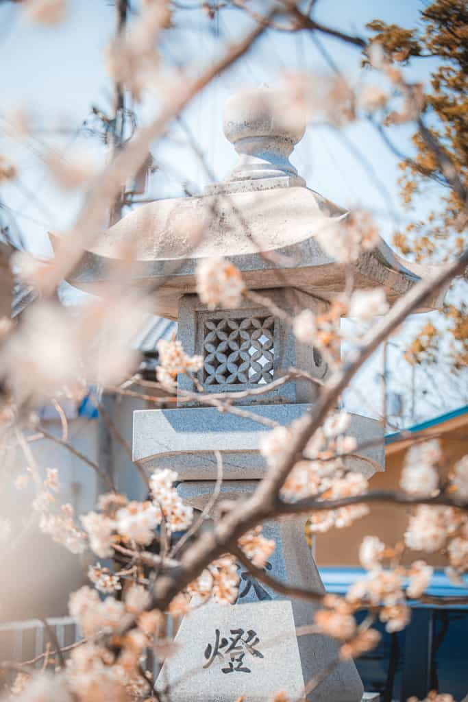 Fiori di ciliegio e lanterna. Santuario di Nunose, Osaka