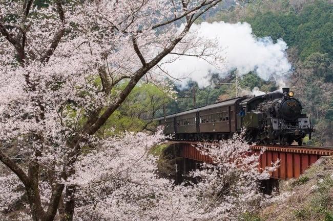 cherry blossoms bloom as a Shizuoka Oigawa train passes by, offering a beautiful image of Japan