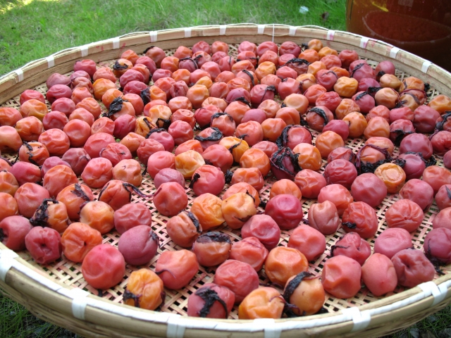 Drying Japanese sour plum (umeboshi)
