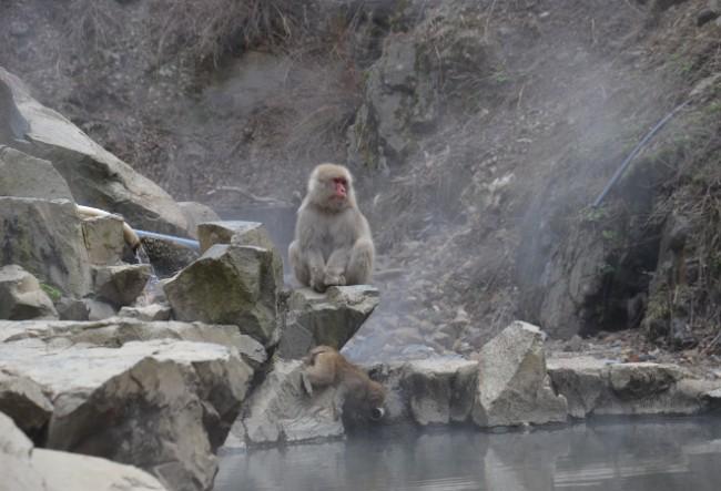 Jigokudani,Yamanouchi,Yudanaka,onsen,hot,spring,monkey,park