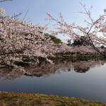 Cherry Blossoms in Ogi Park, Saga
