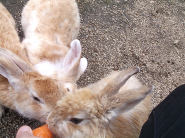 Rabbit Island in Okunoshima, rabbits gather to eat
