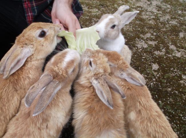Rabbit Island Okunoshima, rabbits gather to eat