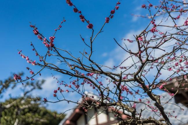 Hiking trail in Kamakura: Kamakura-yama to Gokurakuji , cherry blossoms beginning to bloom