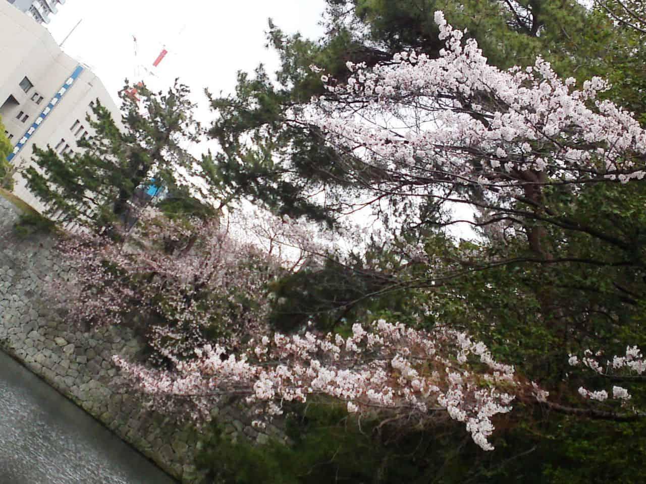 cherry,blossom,flowers,bloom,shizuoka,japan,sunpu,castle