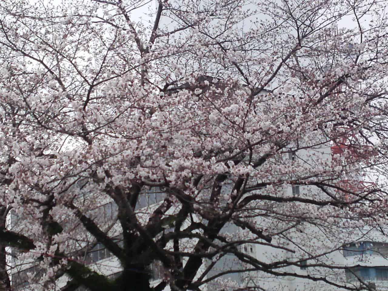 cherry,blossom,flowers,bloom,shizuoka,japan